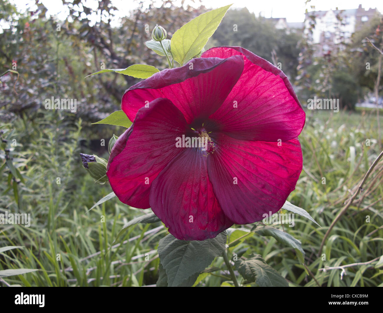 Red hibiscus flower park stock photos red hibiscus flower park large hibiscus flower park brooklyn ny stock image izmirmasajfo Gallery