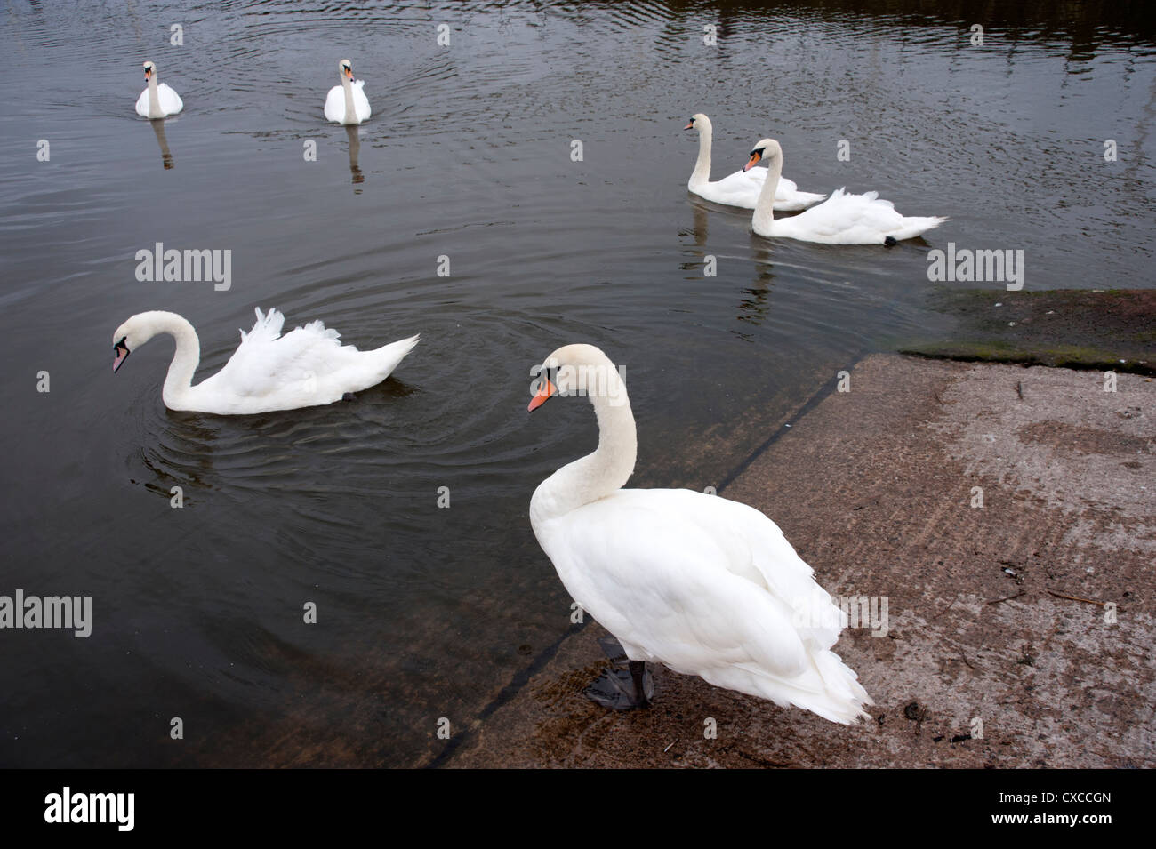 Swans in Whitehaven Harbour, Cumbria - Stock Image