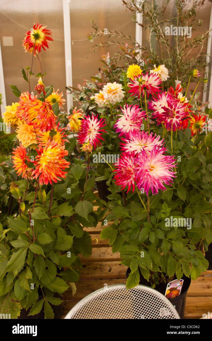 Dahlia flower, pink orange white and yellow variegated Dahlia in pot in garden center for sale. - Stock Image