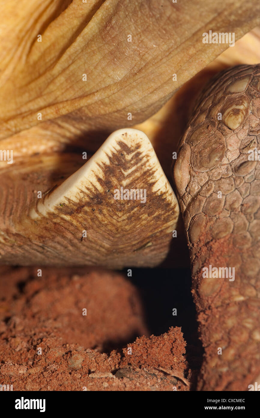 PLOUGHSHARE TORTOISE Astrochelys yniphora. Close up showing upturned gular scute projecting from plastron. - Stock Image