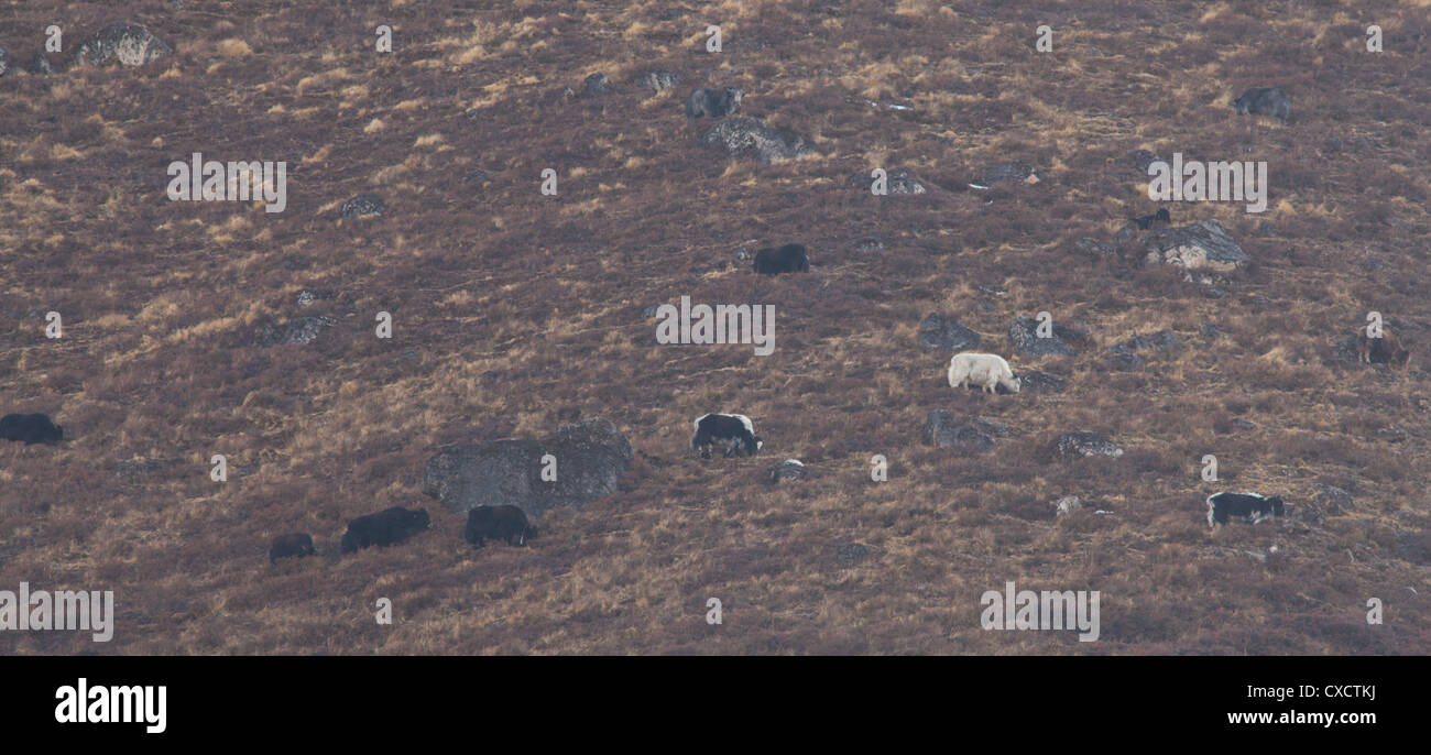Yaks, Bos grunniens, grazing on a hillside, Langtang valley, Nepal - Stock Image