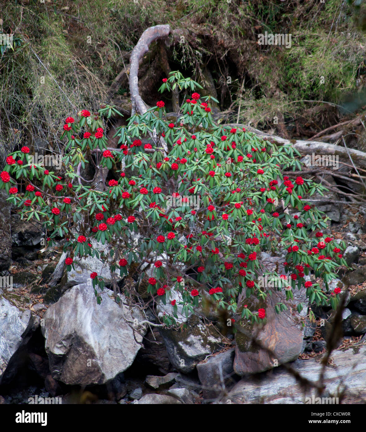 Red Rhododendrons, Rhododendron arboreum, flowering along a rocky river bed, Langtang valley, Nepal - Stock Image