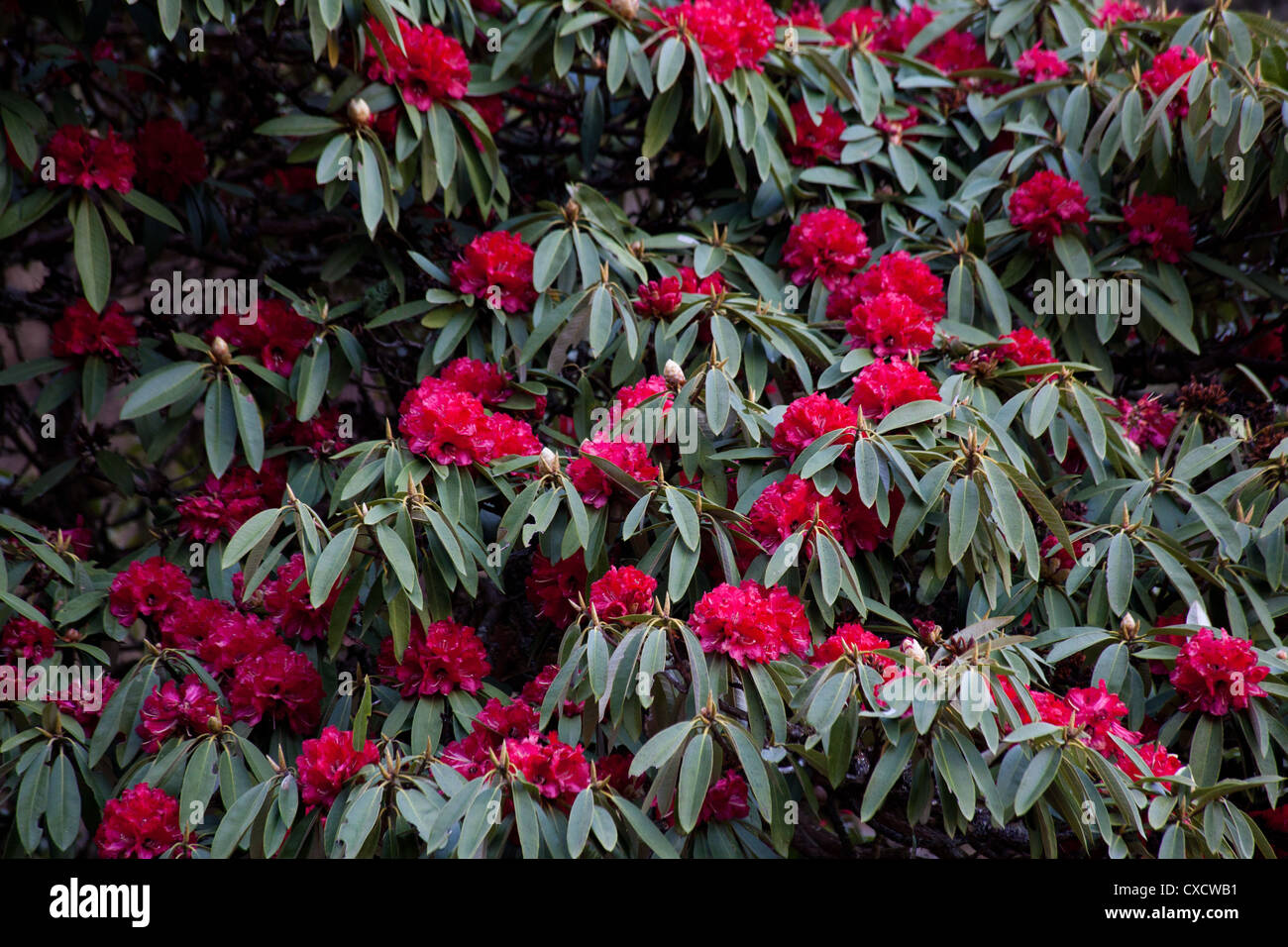 Red Rhododendrons, Rhododendron arboreum, Nepal  - Stock Image