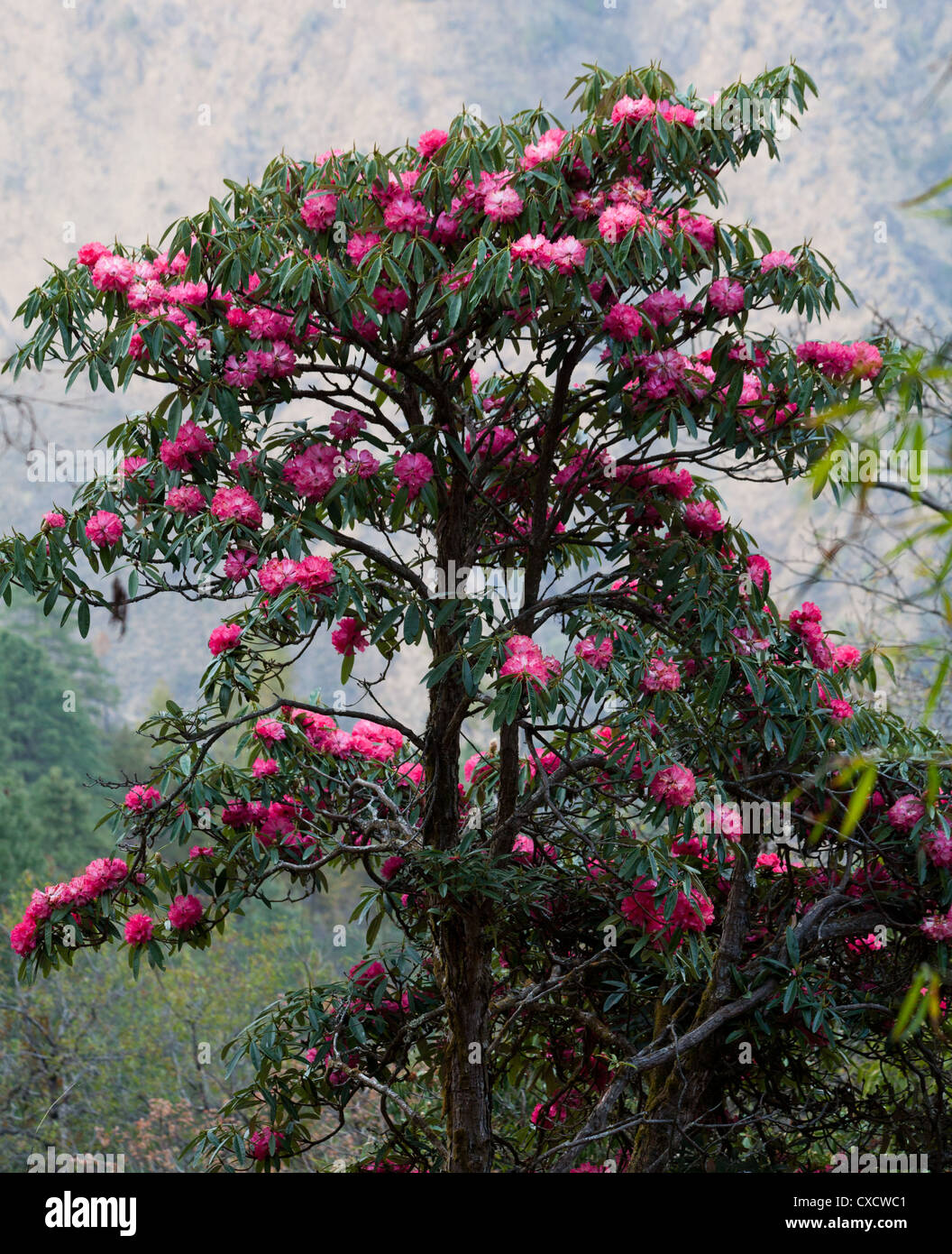 Pink Rhododendrons, Rhododendron arboreum, Nepal  - Stock Image
