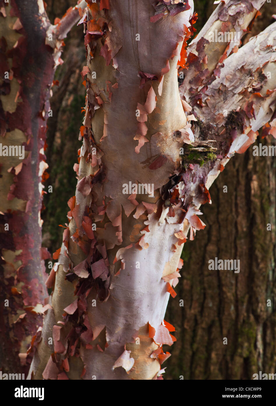 Bark on a Rhododendron tree, Rhododendron arboreum, Nepal - Stock Image
