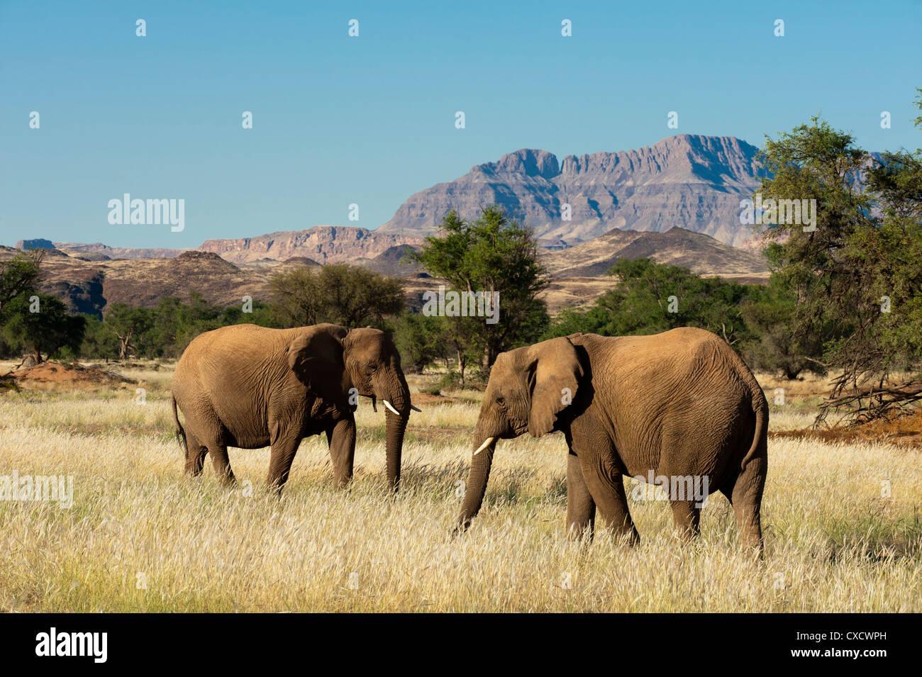 Desert elephants (Loxodonta africana), Huab River Valley, Torra Conservancy, Damaraland, Namibia, Africa - Stock Image