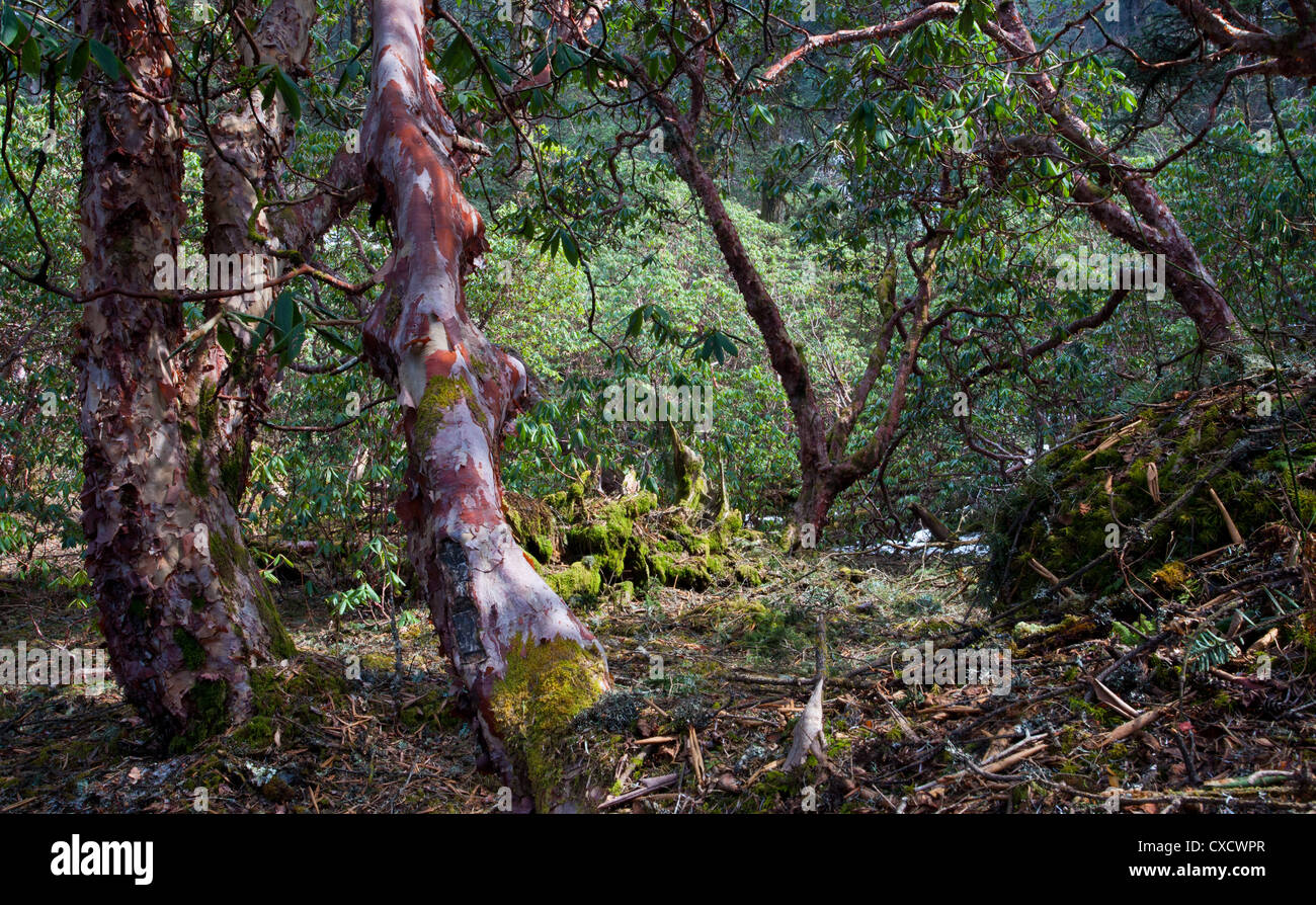 Rhododendron tree, Rhododendron arboreum, Nepal - Stock Image