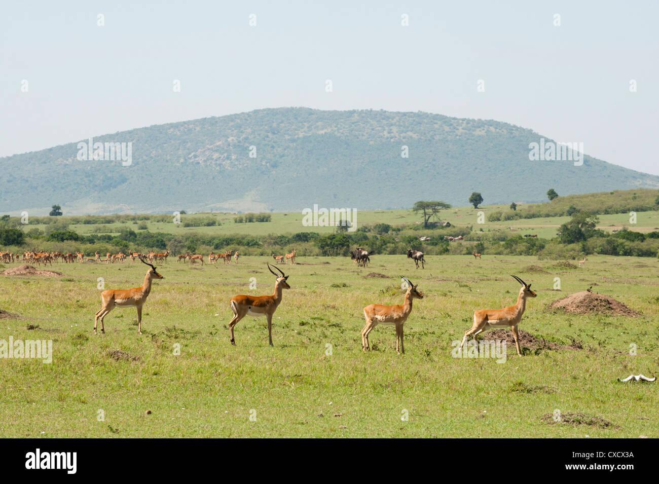 Impala (Aepyceros melampus), Masai Mara, Kenya, East Africa, Africa Stock Photo
