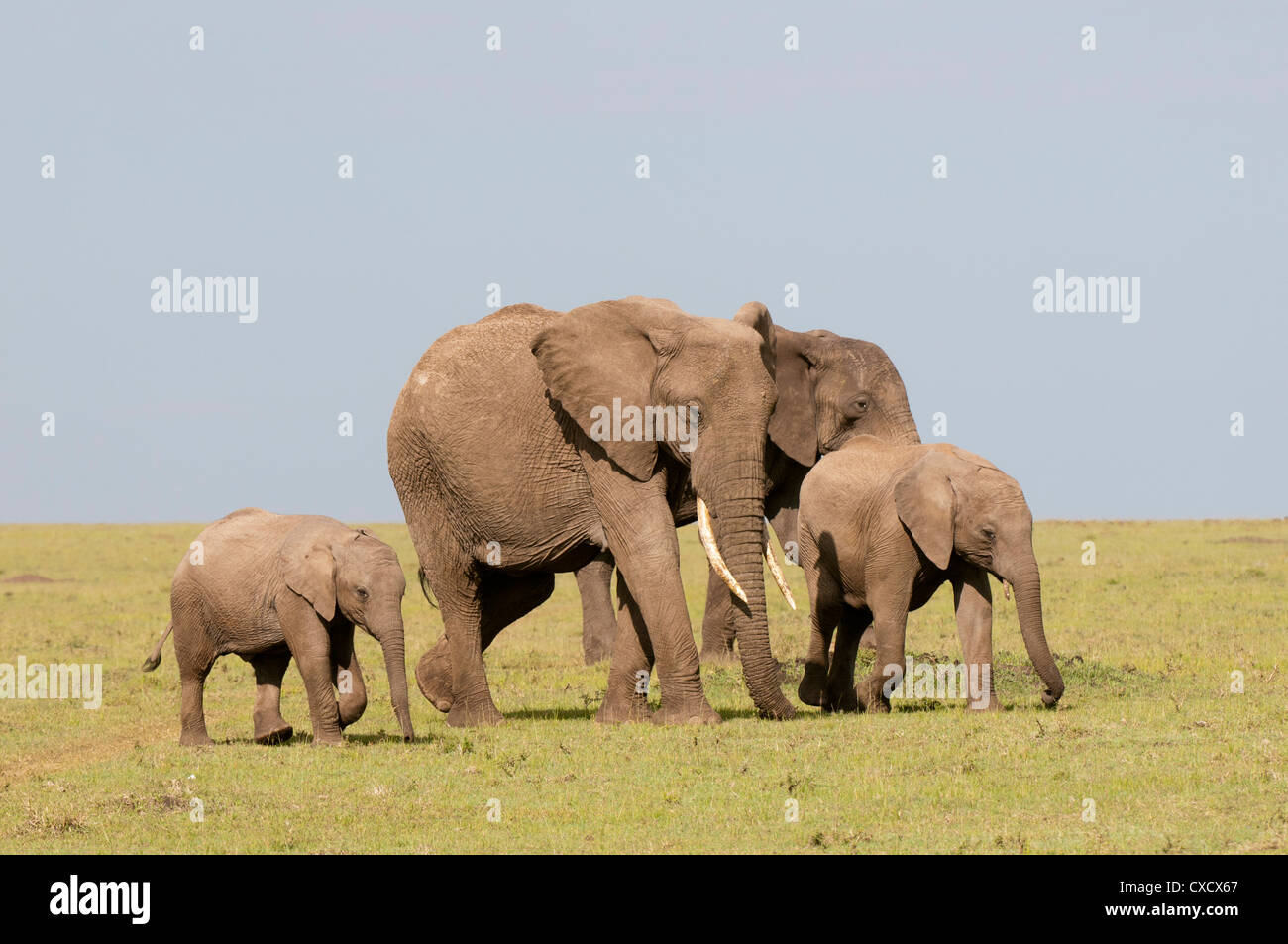 African elephant (Loxodonta africana), Masai Mara, Kenya, East Africa, Africa - Stock Image