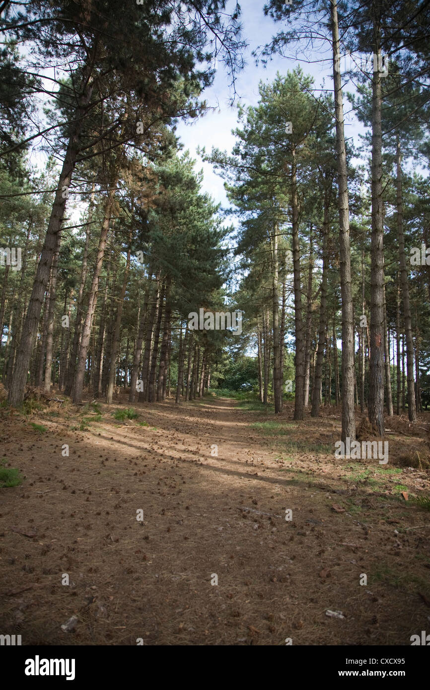 Coniferous trees Rendlesham forest Suffolk England - Stock Image