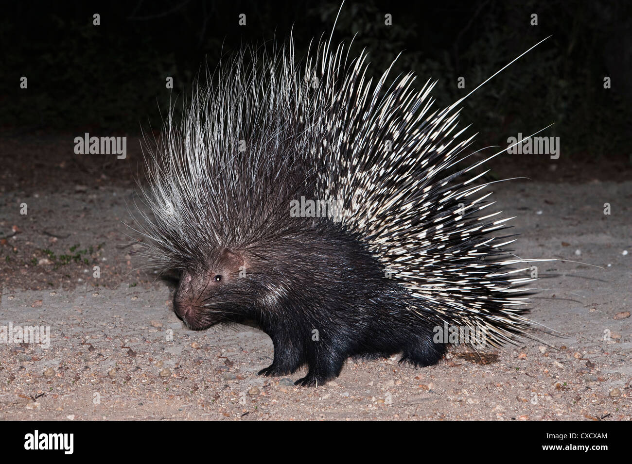Porcupine (Hystrix africaeaustralis), Limpopo, South Africa, Africa - Stock Image