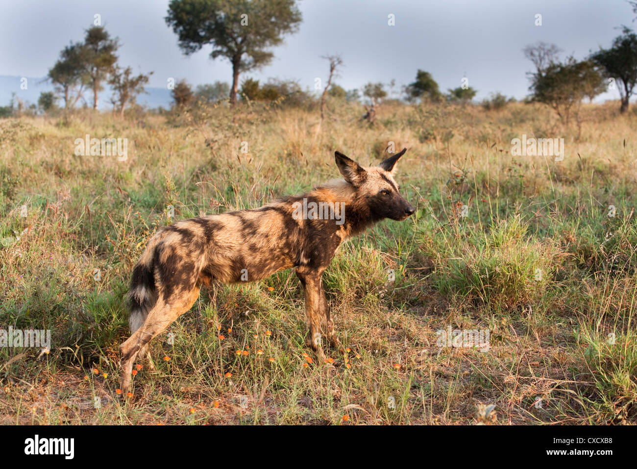 African wild dog (Lycaon pictus), Kruger National Park, South Africa, Africa - Stock Image