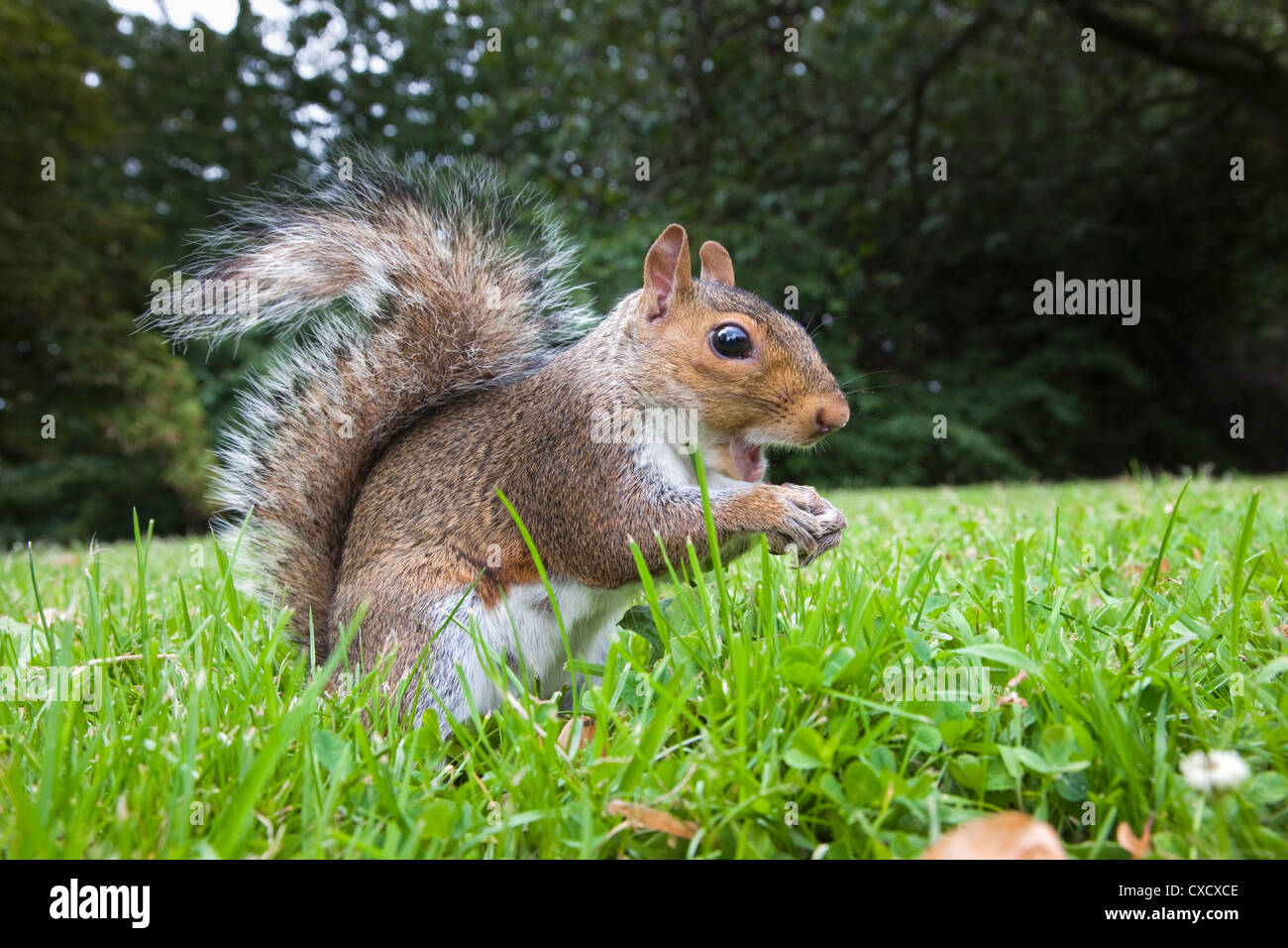 Grey squirrel (Sciurus carolinensis), in city park, Brandon Park, Bristol, England, United Kingdom, Europe - Stock Image