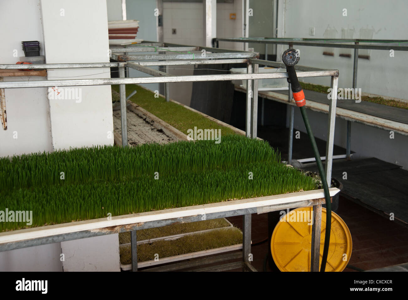 Wheat Germ Sprouting on an organic farm - Stock Image