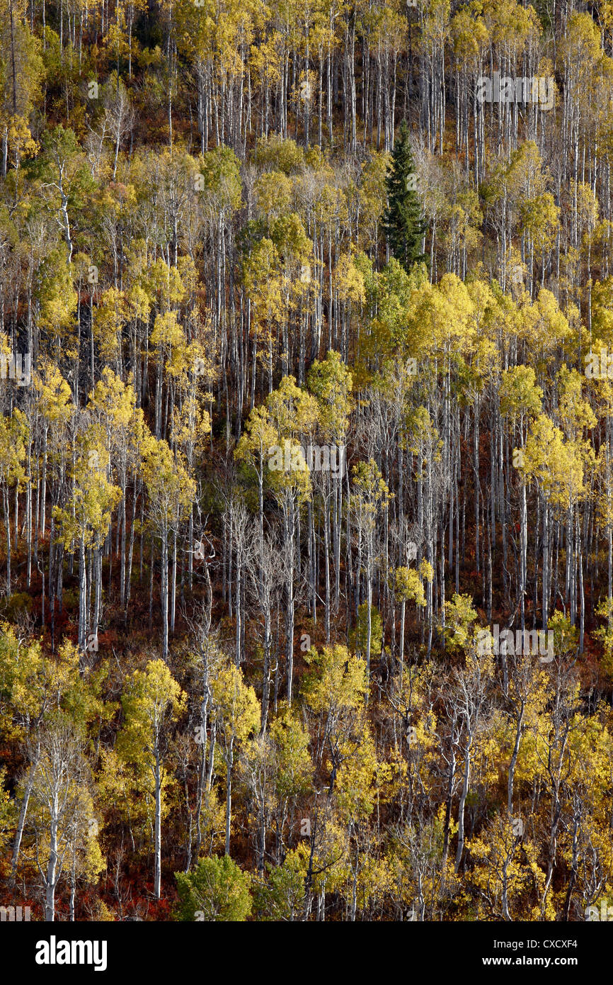Yellow aspens in the fall, Wasatch-Cache National Forest, Utah, United States of America, North America - Stock Image