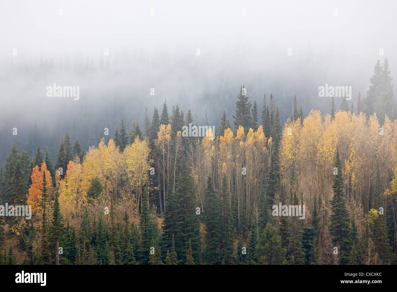 Yellow aspens and evergreens with low clouds, Wasatch-Cache National Forest, Utah, United States of America, North - Stock Image