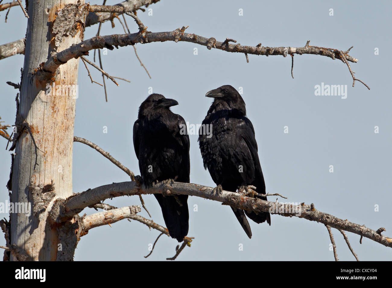 Common raven (Corvus corax) pair, Yellowstone National Park, Wyoming, United States of America, North America - Stock Image