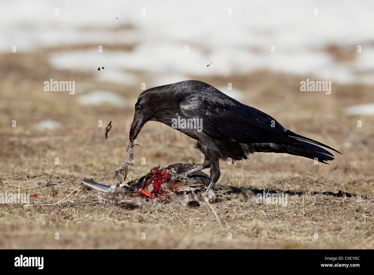 Common raven (Corvus corax) feeding on a duck, Yellowstone National Park, Wyoming, United States of America, North - Stock Image