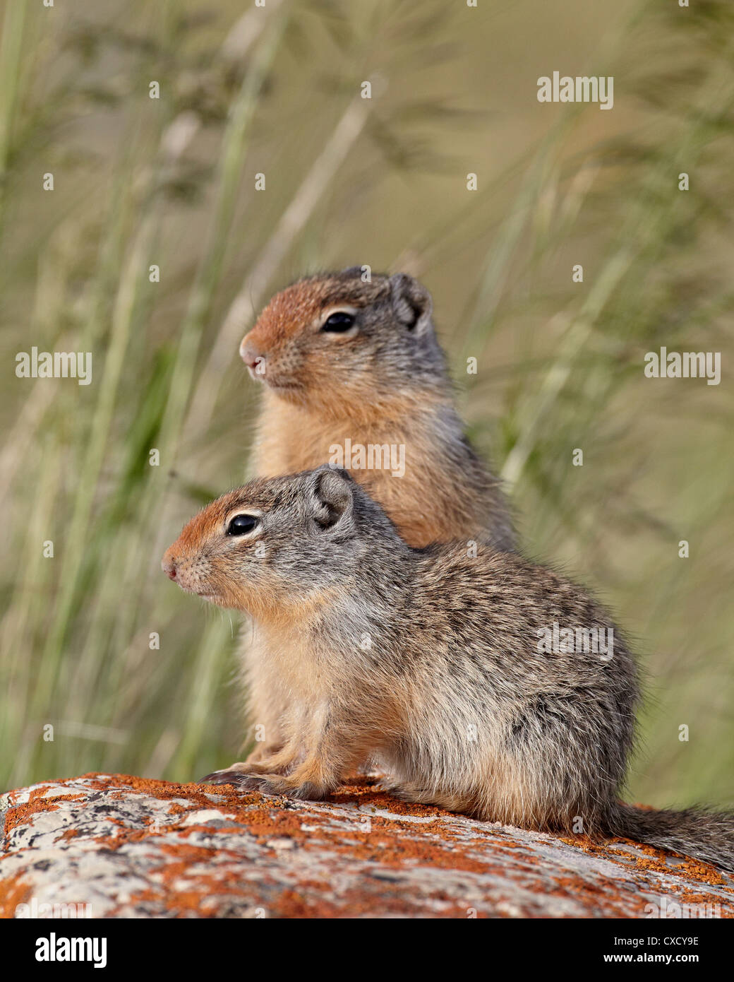 Two young Columbian ground squirrel (Citellus columbianus), Waterton Lakes National Park, Alberta, Canada, North Stock Photo