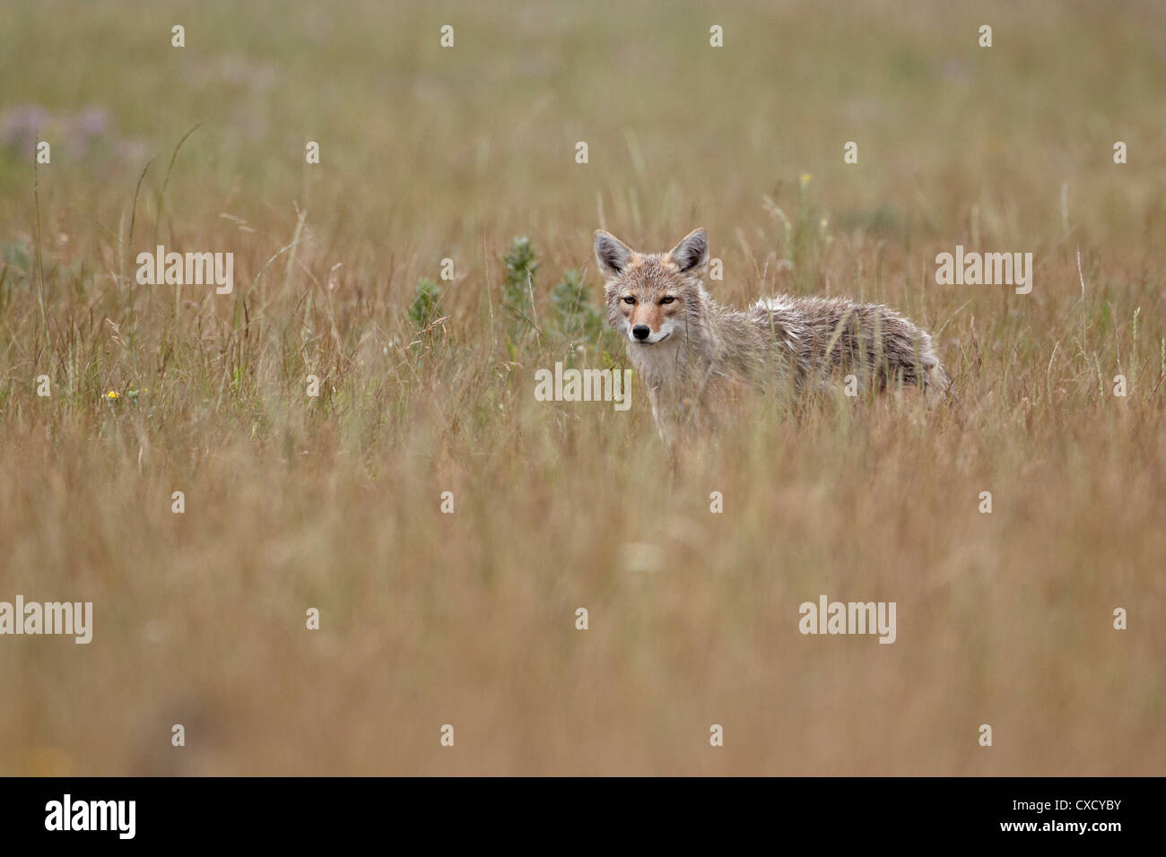 Coyote (Canis latrans), Waterton Lakes National Park, Alberta, Canada, North America - Stock Image