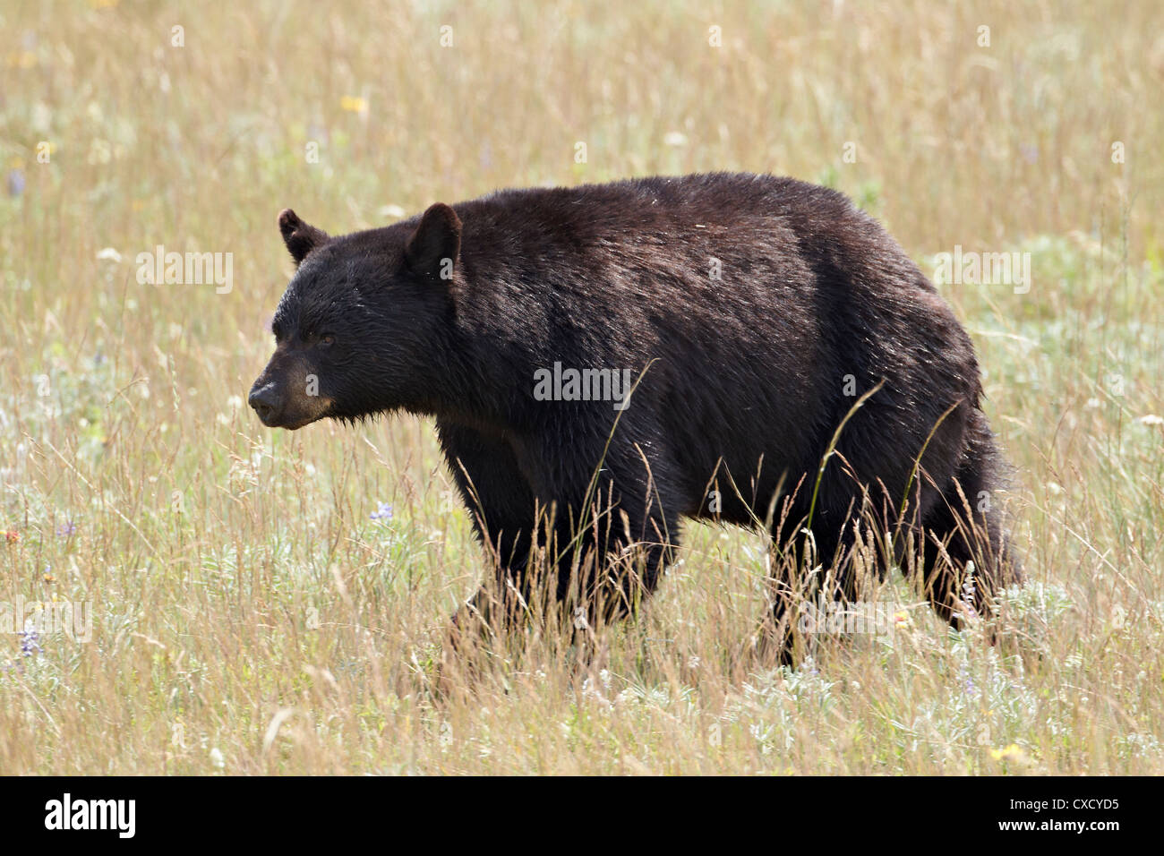 Black bear (Ursus americanus), Waterton Lakes National Park, Alberta, Canada, North America - Stock Image