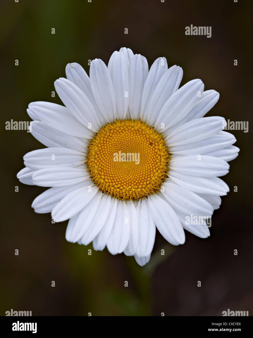 Oxeye daisy (ox-eye daisy) (Leucanthemum vulgare), Waterton Lakes National Park, Alberta, Canada, North America Stock Photo