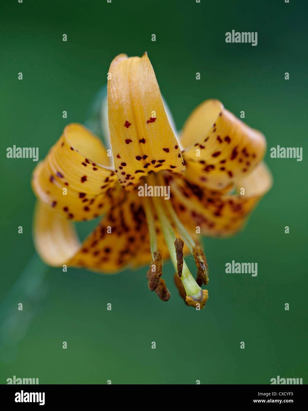 Tiger lily (Columbian lily) (Oregon lily) (Lilium columbianum), Idaho Panhandle National Forests, Idaho - Stock Image