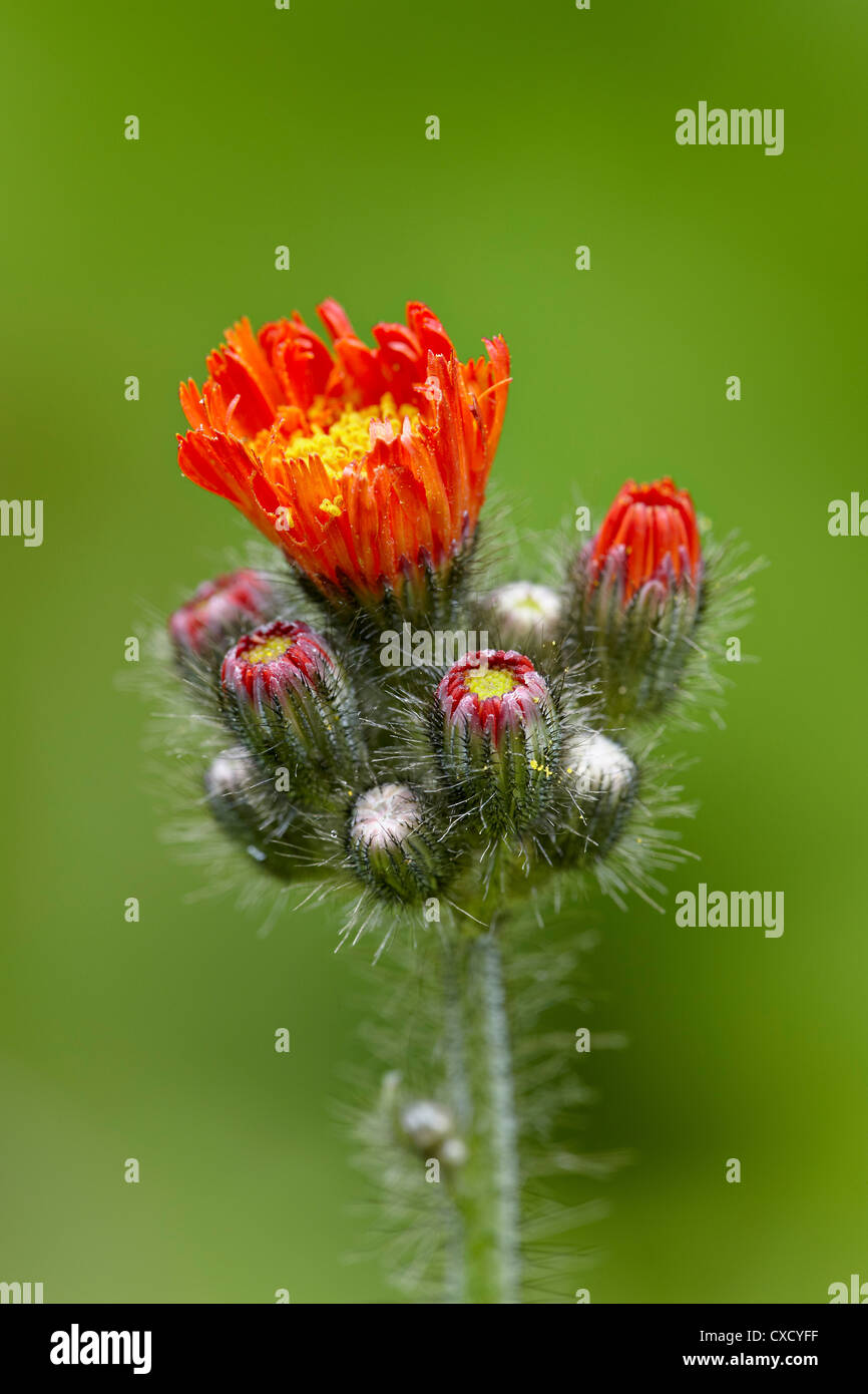 Orange hawkweed Panhandle National Forests - Stock Image