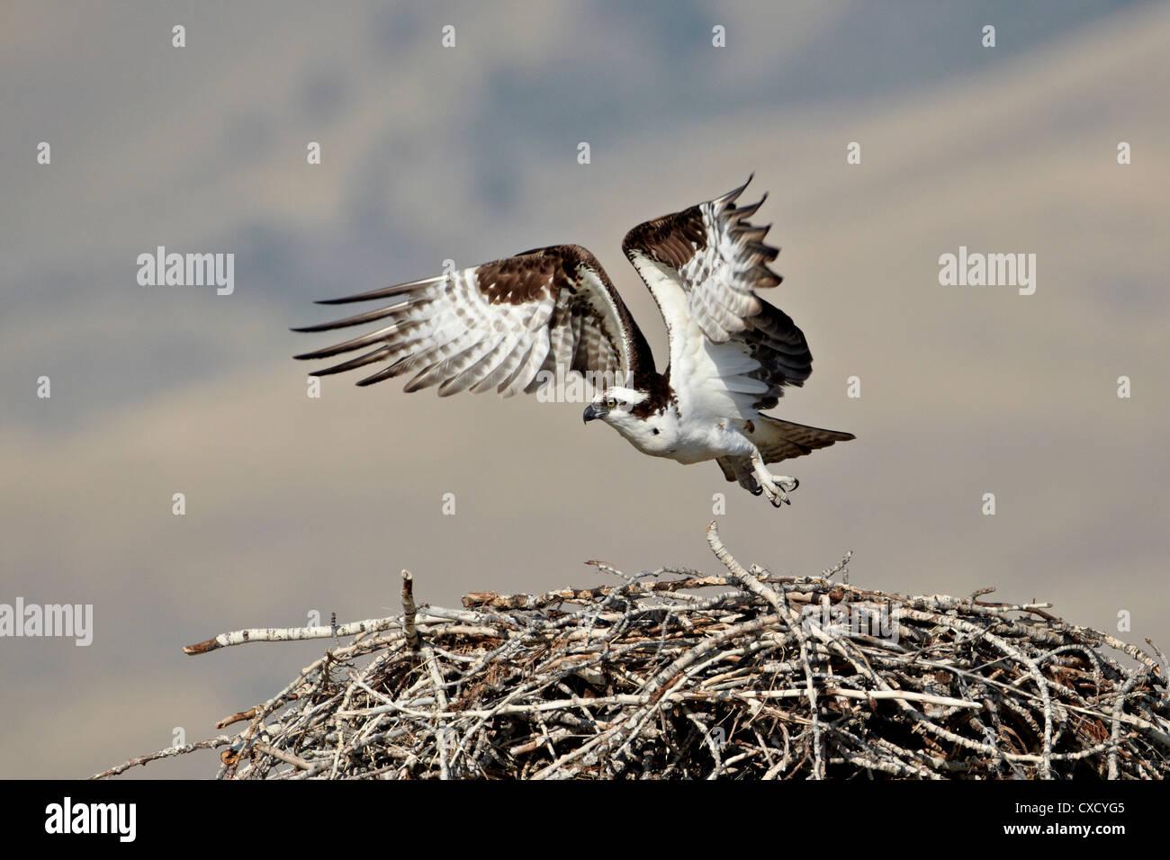 Osprey (Pandion haliaetus) taking off from its nest, Lemhi County, Idaho, United States of America, North America - Stock Image