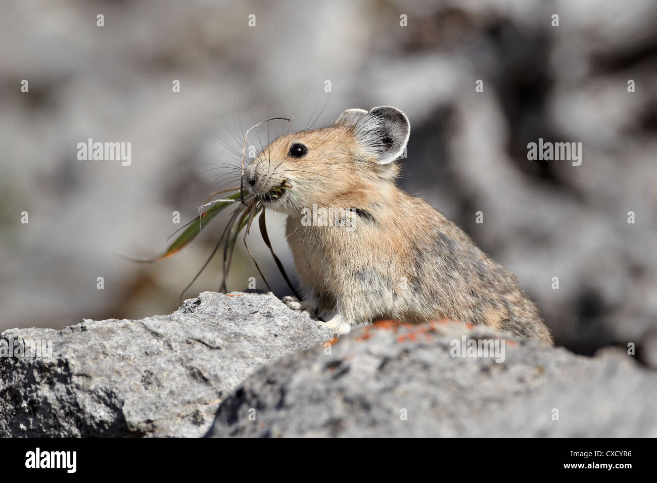 American pika (Ochotona princeps) with food, Jasper National Park, Alberta, Canada, North America - Stock Image
