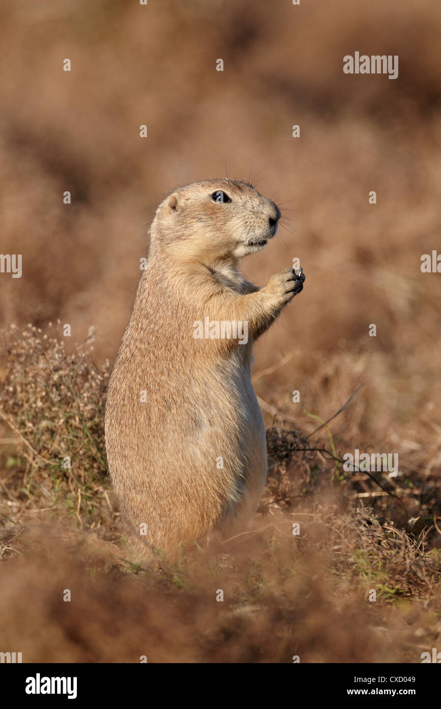 Blacktail prairie dog (Cynomys ludovicianus), Theodore Roosevelt National Park, North Dakota, United States of America - Stock Image