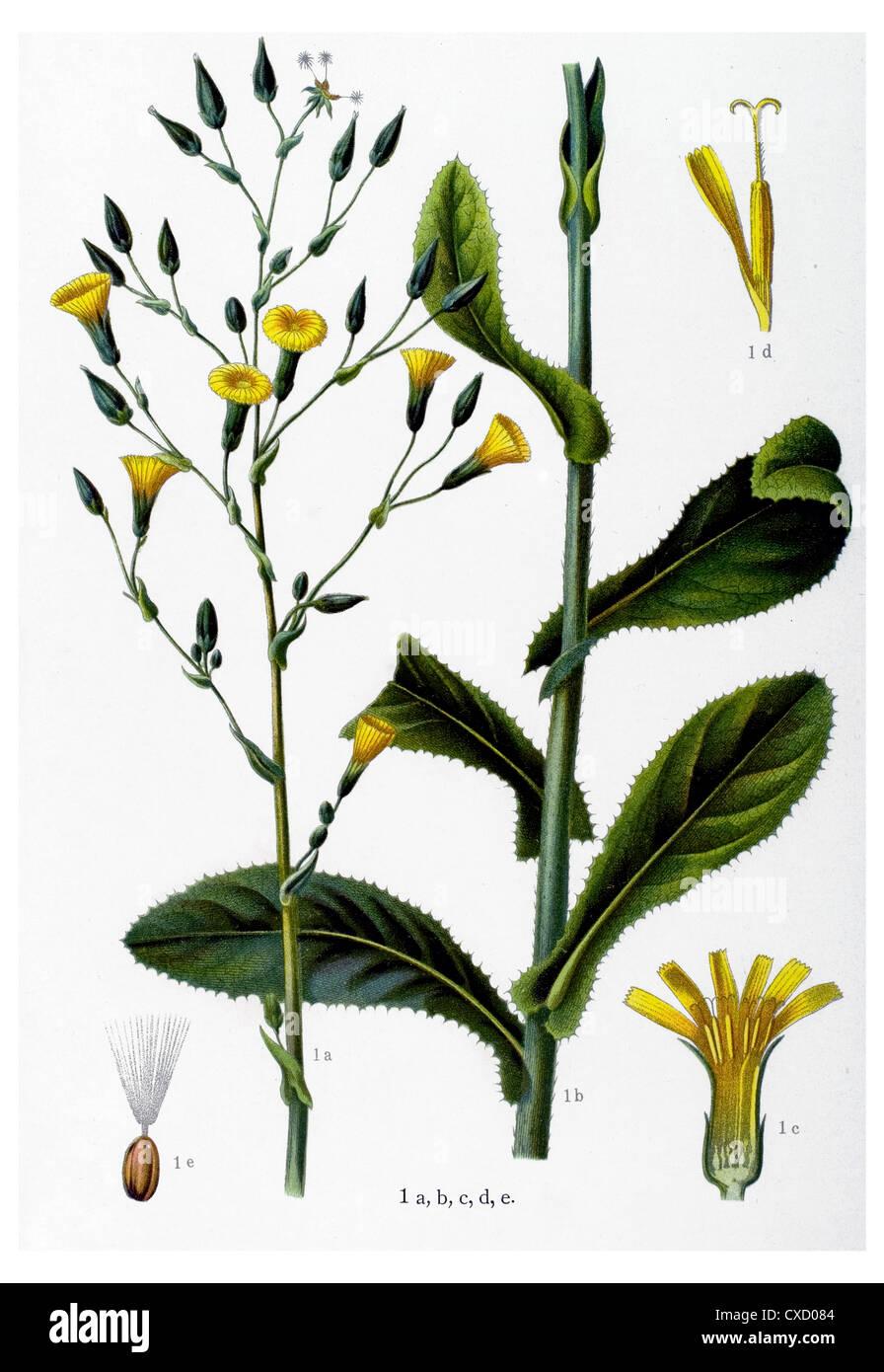 Lactuca virosa - Stock Image