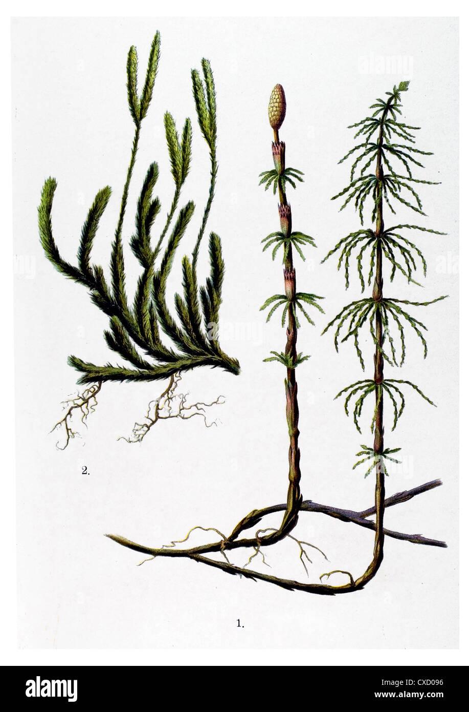 Equisetum arvense - Stock Image