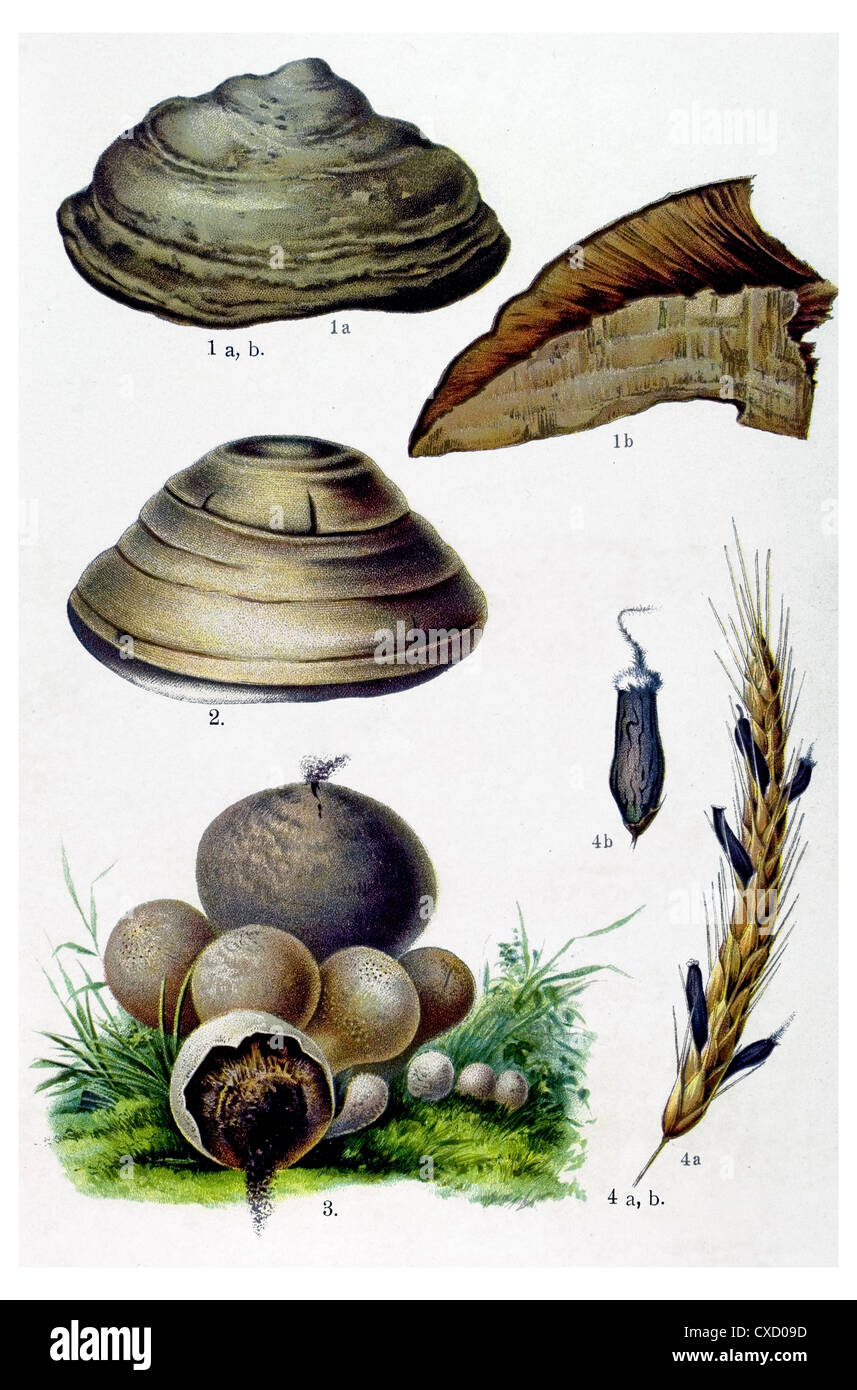 olyporus fomentarius Fries - Stock Image