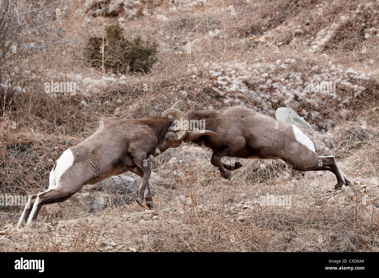 Two Bighorn Sheep Ovis Canadensis Rams Head Butting Clear Creek County Colorado United States Of America North