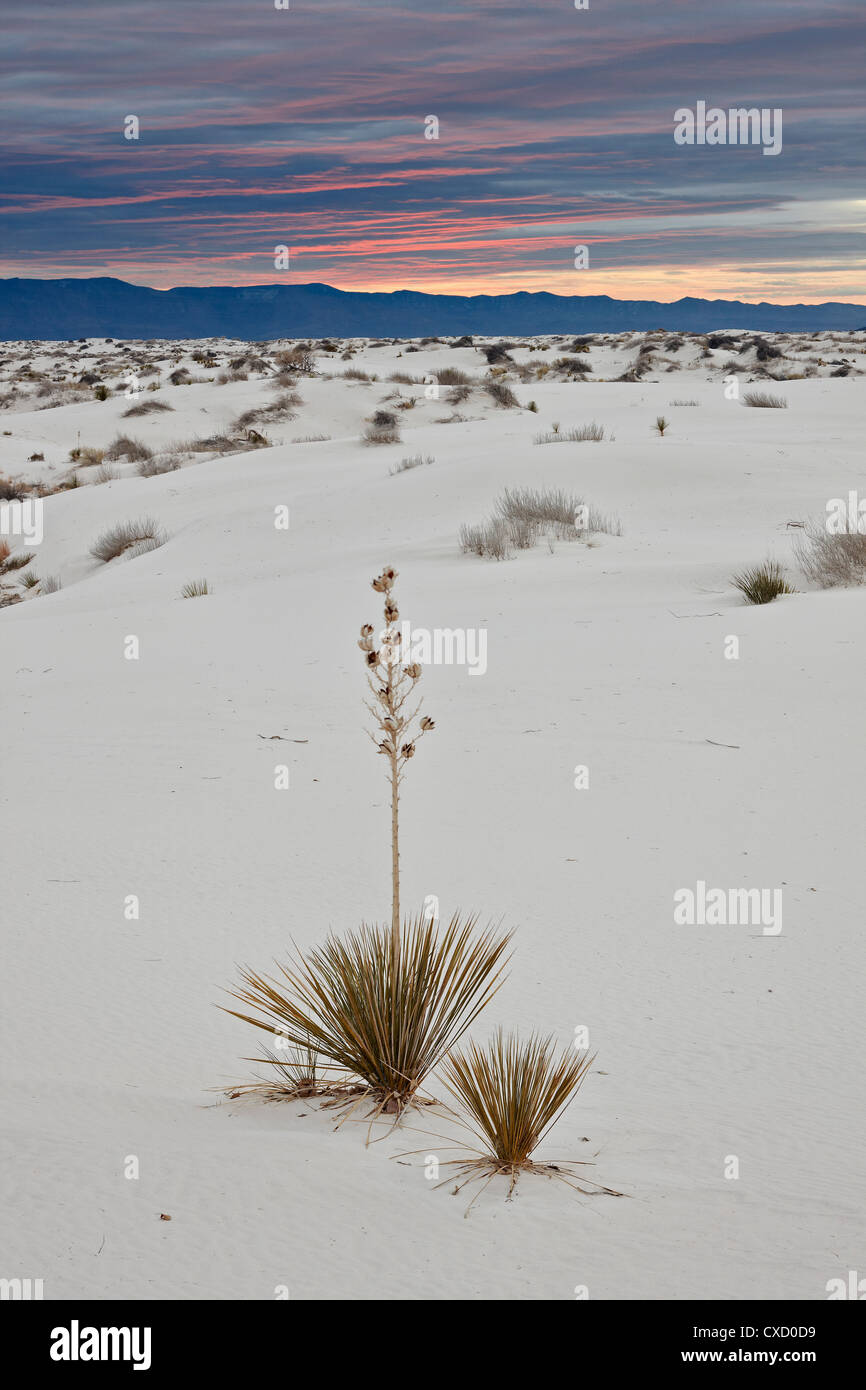 Yucca on the dunes at sunrise, White Sands National Monument, New Mexico, United States of America, North America - Stock Image