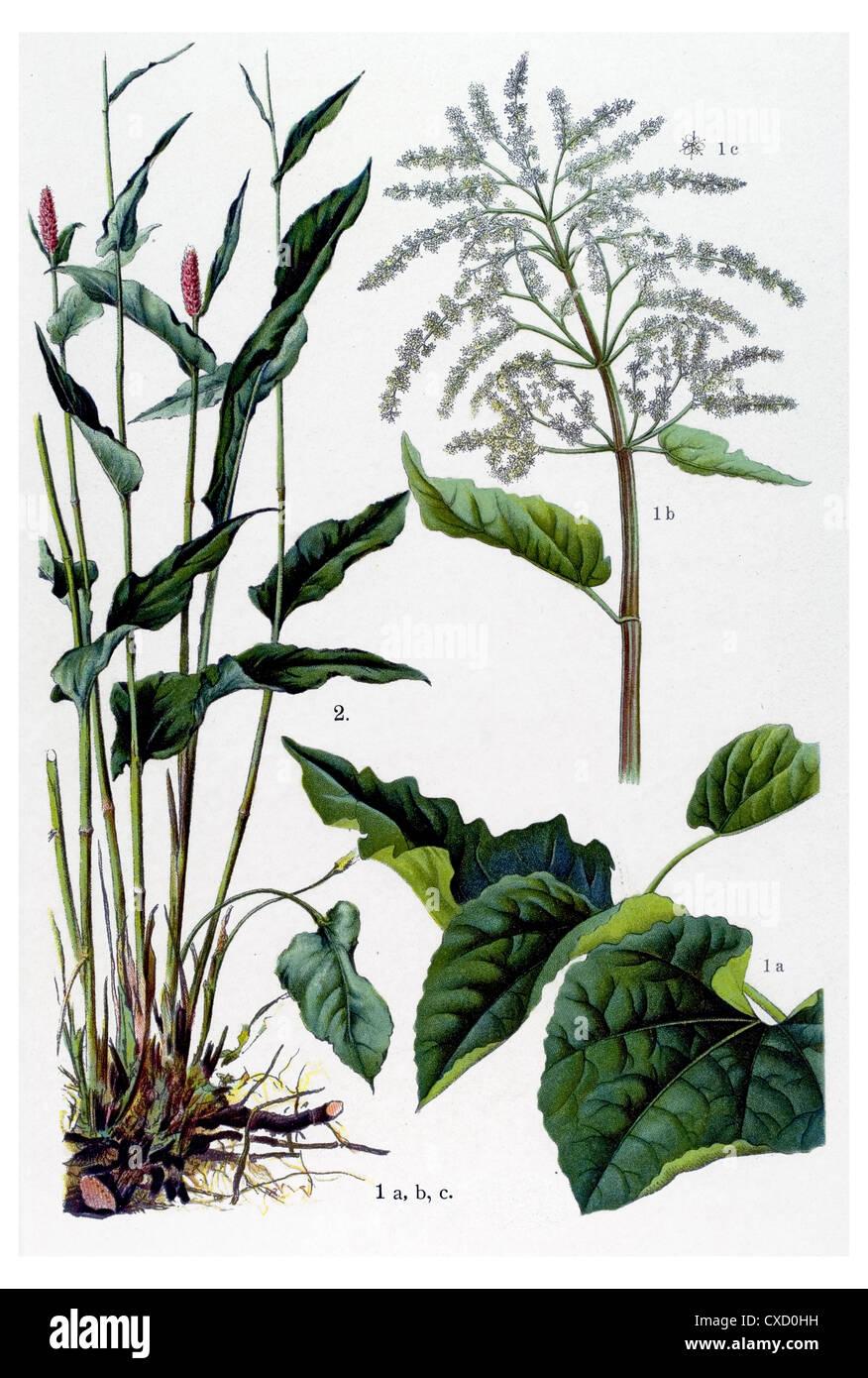 Rheum rhaponticum - Stock Image