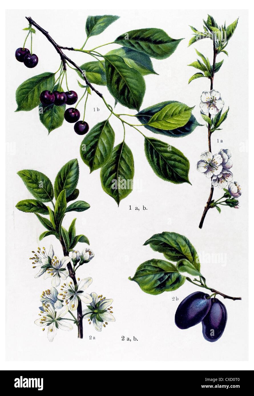 Prunus cerasus - Stock Image