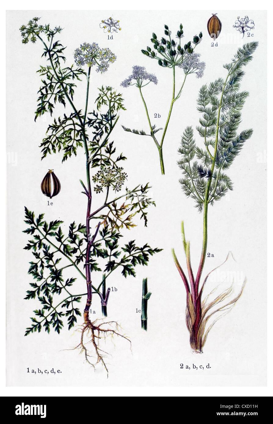 Aethusa cynapium - Stock Image