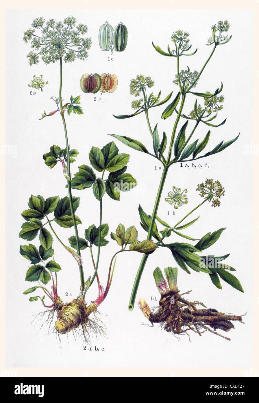 Ligusticum levisticum - Stock Image