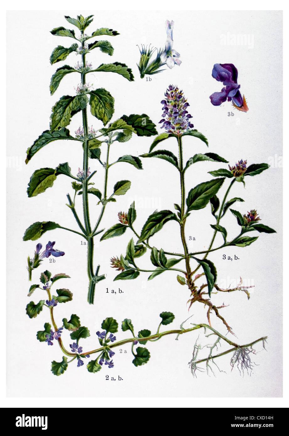 Marrubium vulgare - Stock Image
