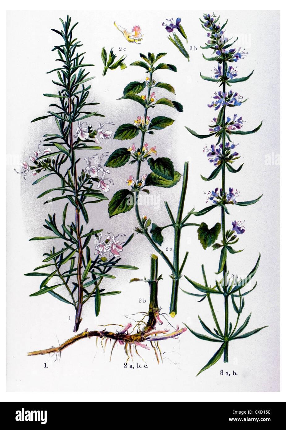 Rosmarinus officinalis - Stock Image