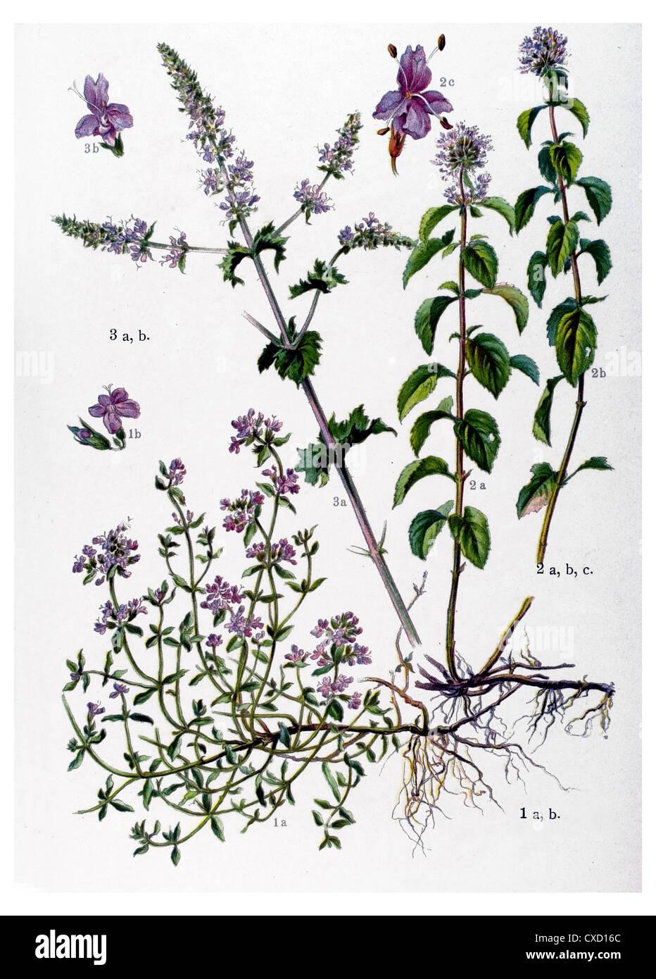Thymus vulgaris - Stock Image