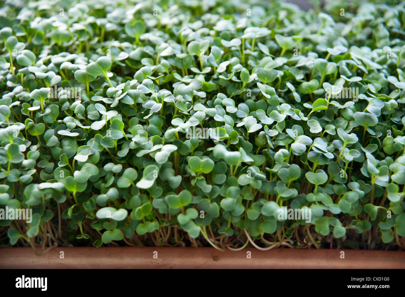 Bean Sprouts close up on an organic farm - Stock Image