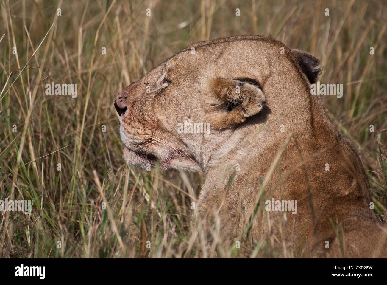African Lion in Kenya ( Panthera Leo) - Stock Image