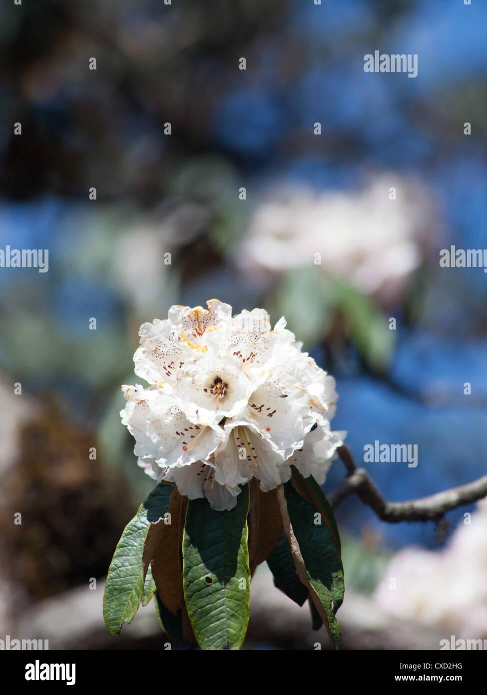 Beautiful white Rhododendron tree flowering, Nepal - Stock Image