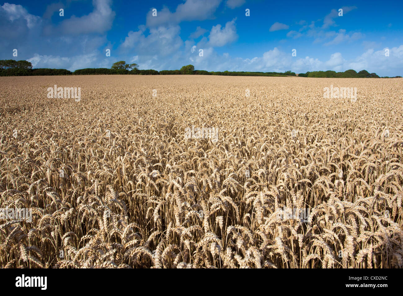 Wheat field, Devon, England, UK - Stock Image