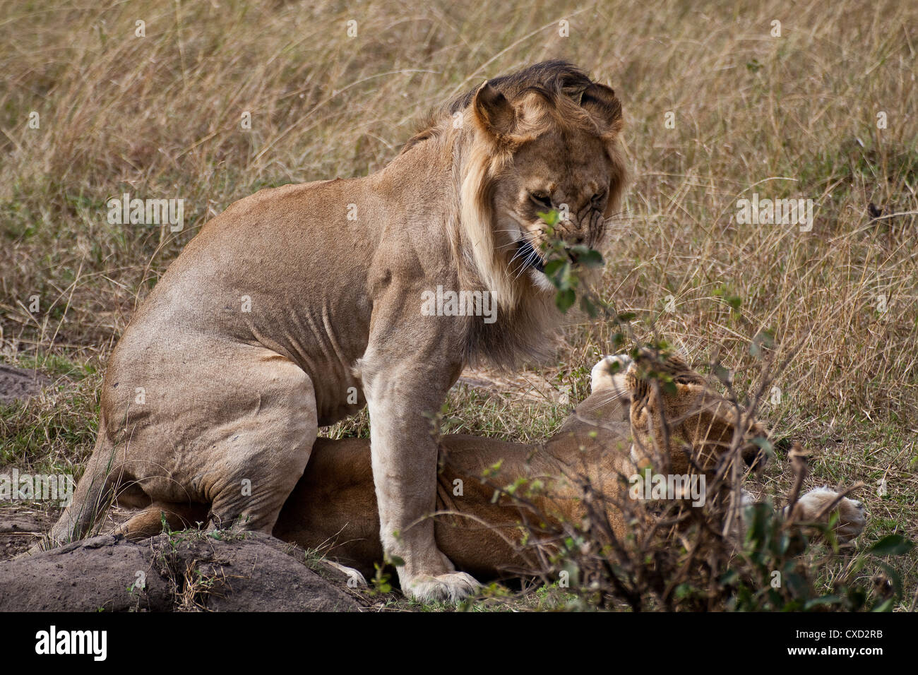 Pair of lions in love in Kenya (Panthera Leo) - Stock Image