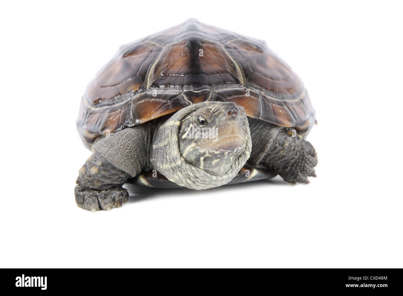 tortoise poked his head Stock Photo