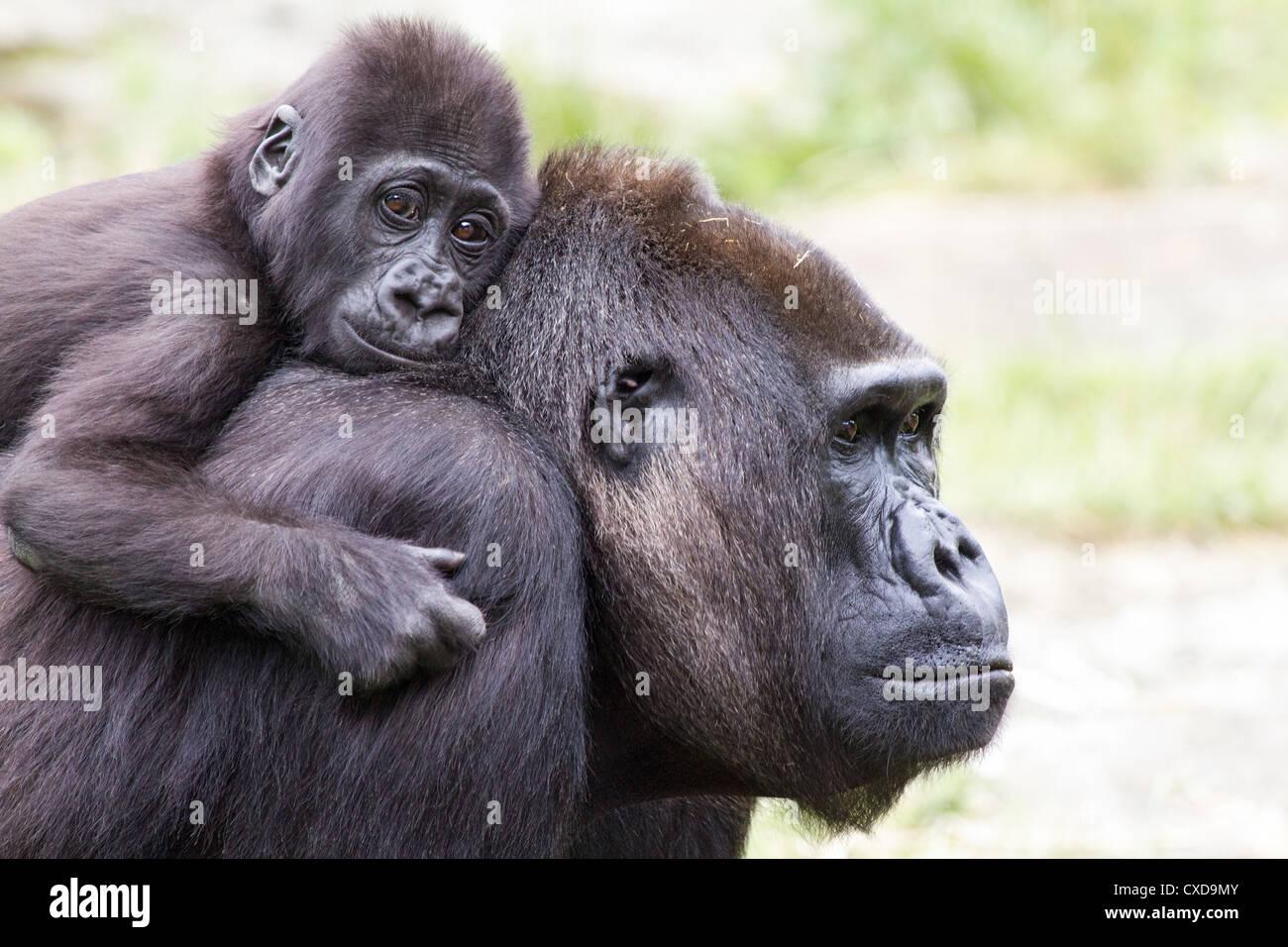 Close-up of mother western lowland gorilla (Gorilla gorilla) carnying baby on her back, Netherlands - Stock Image